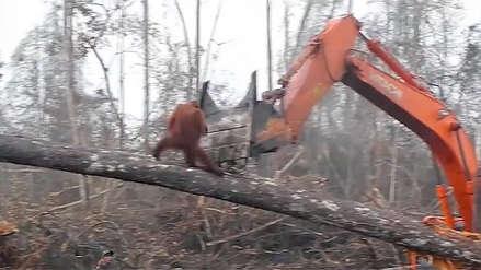 Video: orangután se enfrenta a máquina excavadora para defender bosque