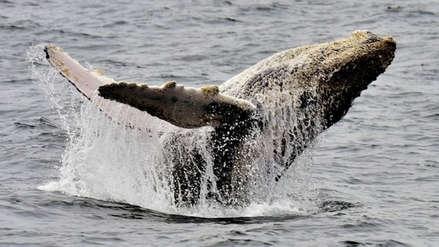 Autoridades de Canadá imponen medidas para proteger las ballenas de los turistas
