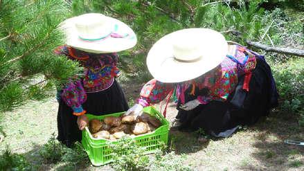 Productores de Inkawasi enviarán su primera remesa de hongos a Europa