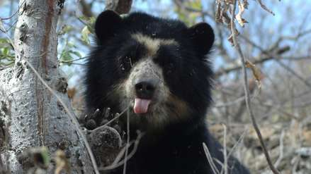 Videos: este es el hogar del oso de anteojos en los bosques secos del Perú