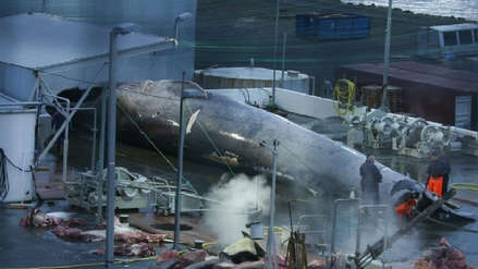 La muerte de una extraña especie de ballena desata una polémica nacional en Islandia