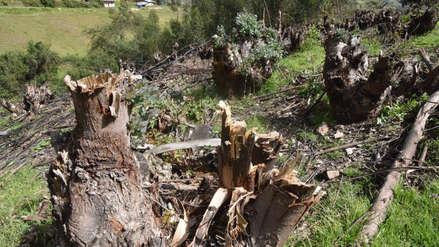 Denuncian tala ilegal de bosque en Santiago de Chuco