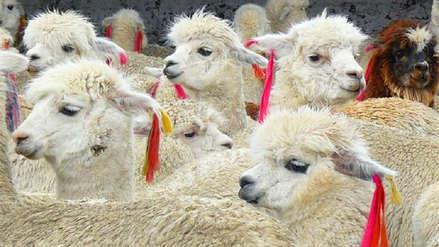 Animales eran maltratados por mujeres que ofrecen fotografías en Cusco