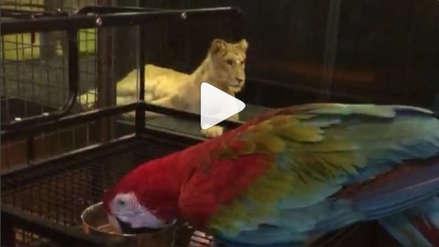 Turquía: Indignación por la exhibición de una leona en pasillo de cristal de un café