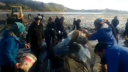 Autoridades chilenas rescataron a una ballena varada y lograron devolverla al mar
