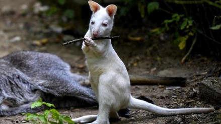 Archie, el pequeño canguro albino que enternece en un zoológico en Macedonia