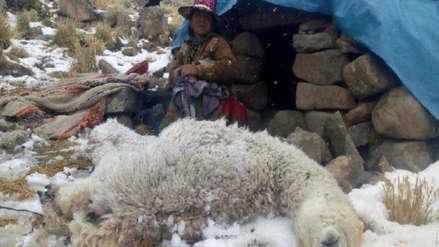 Ola de frío causa muerte de unas 5,000 alpacas en la región Arequipa
