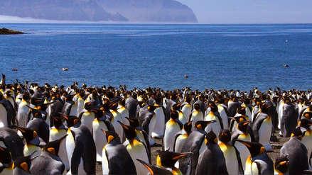 La mayor colonia de pingüino rey del mundo se redujo en un 88% y los científicos aún no saben por qué