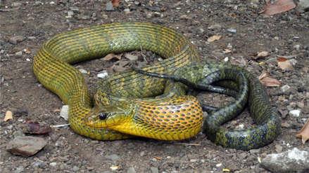 Científicos descubren una serpiente sudamericana con dos tipos de veneno