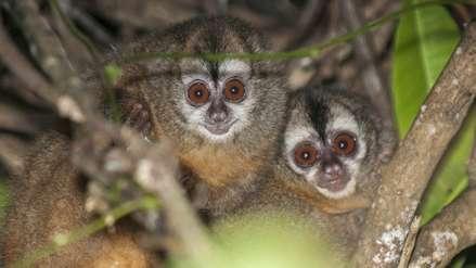 Primer diagnóstico sobre fauna amenazada en el Perú muestra 64 especies en peligro crítico