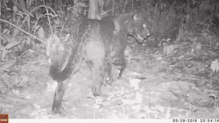 Bolivia: raro jaguar negro se observa por primera vez en bosques amazónicos