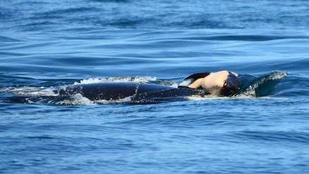 El extraño caso de una orca que cargó a su cría muerta durante 17 días