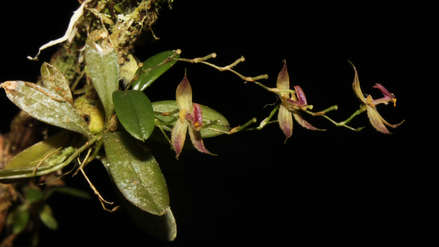 Una nueva especie de orquídea fue descubierta en el Parque Nacional Tingo María