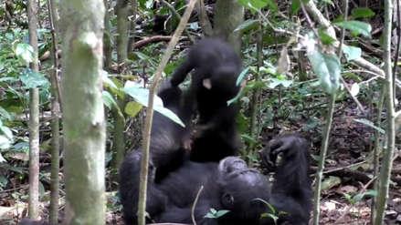 Investigadores captan a chimpancé jugando al