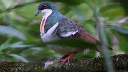 Paloma apuñalada de Negros: nuevo video de una de las aves más elusivas