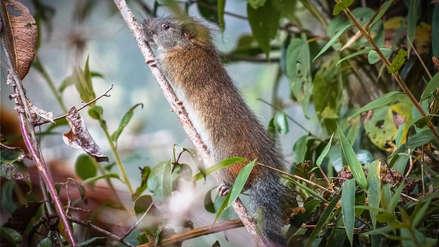 Una rara especie fue vista en el Santuario Histórico de Machu Picchu por primera vez en diez años