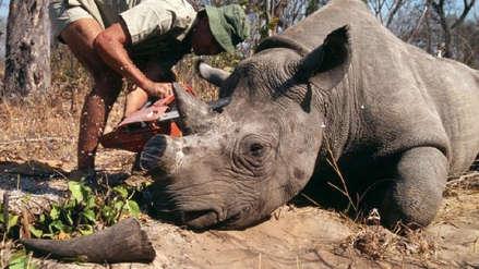 Conservacionistas se ven obligados a cortar cuernos de rinocerontes para salvarlos de cazadores