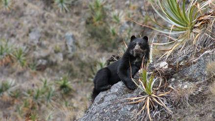 Oso de anteojos fue captado por primera vez en el Santuario Nacional Megantoni de Cusco