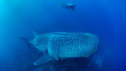 Tiburón ballena: la fragilidad del pez más grande del mundo