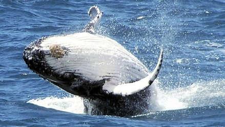 Japón capturó 177 ballenas