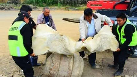 Hallan restos óseos de ballena en Paiján