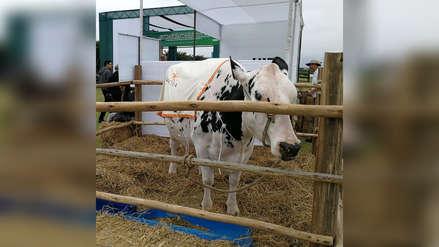 Presentan primer clon de vaca comercial del Perú en Virú