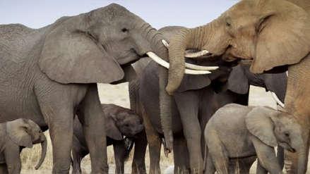 Casi un centenar de elefantes fueron asesinados por cazadores en su último santuario en África