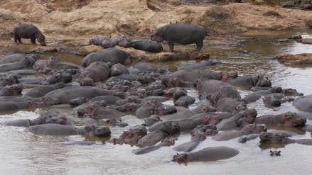 Muerte por heces de hipopótamos: científicos resuelven una masacre de peces en Kenia
