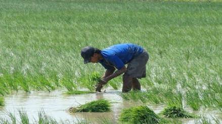 Siembra de arroz no debe exceder las 30 mil hectáreas en Lambayeque