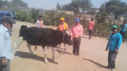 Chiclayo: Juntas vecinales recuperan un toro que iba a ser robado
