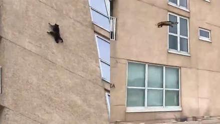 Video | Un mapache pierde el equilibrio, cae desde un noveno piso y sobrevive