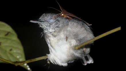 Biólogo registra a polillas succionando las lágrimas de pájaros en el Amazonas