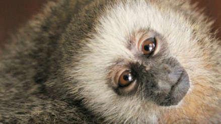 Estas son cinco especies de mamíferos al borde de la extinción en el Perú