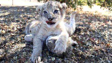 Fotos y video | Nacen en Sudáfrica los primeros leones concebidos por inseminación artificial