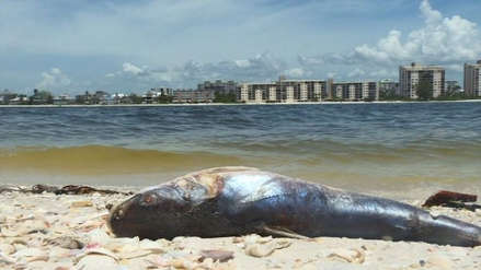 Miami: cierran playas ante la presencia confirmada de la marea roja