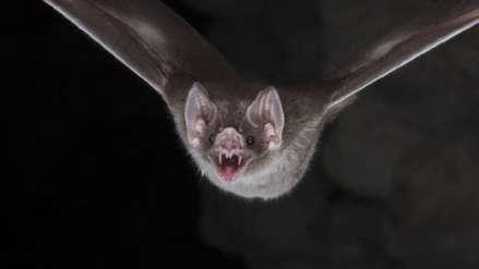 Elecciones 2018   Fiscalizador del JNE fue mordido por un murciélago cuando realizaba inspección