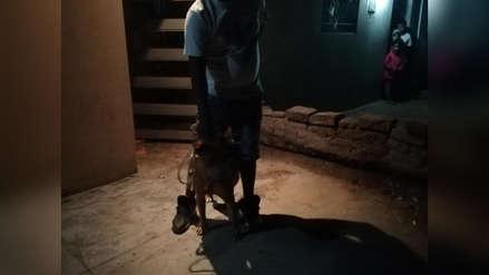 Chiclayo: perro pitbull mordió y dejó mal herido a menor de 13 años