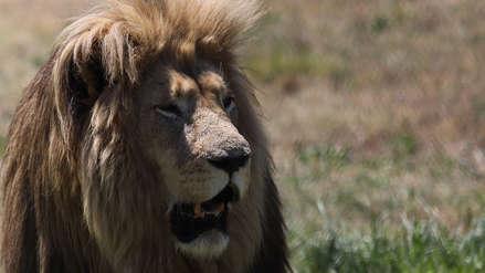El león que escapó de los bombardeos en Siria encontró una pareja en Sudáfrica