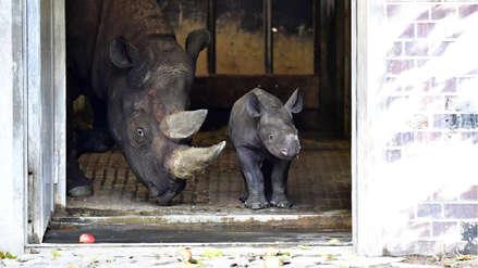 Rinoceronte bebé en el zoológico de Berlín enternece redes sociales