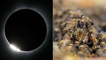 Estas es la extraña reacción de las abejas frente a un eclipse solar que fascina a la ciencia