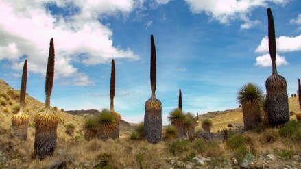 Aumenta cantidad de puyas Raimondi en Santuario Nacional de Calipuy