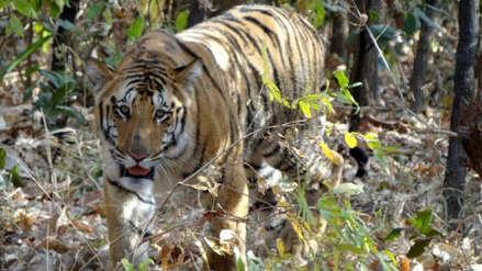 Un perfume de Calvin Klein es usado para cazar a un tigre acusado de matar a 13 personas en India