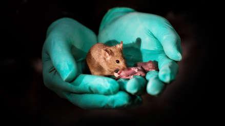 Científicos logran que ratones hembras nazcan de madres del mismo sexo