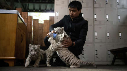 Tres cachorros de tigre de Bengala blancos enternecen a China