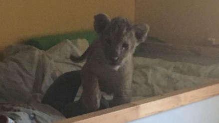 Francia | Policía rescató a cachorra de león en apartamento y detuvo a traficante