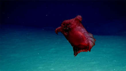 Video   El 'monstruo del pollo sin cabeza': científicos captan a una misteriosa criatura de mar