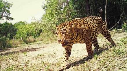 La cruel matanza de jaguares para el mercado negro de Surinam