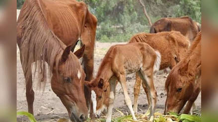 Administración Judicial ligada al grupo Oviedo no alimentó a caballos y se están muriendo