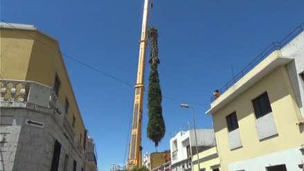Talan la palmera más grande de Arequipa