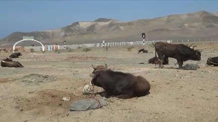 20 toros quedaron regados en el desierto de Casma tras volcarse remolque que los transportaba